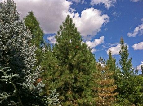 conifers082314