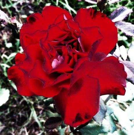 rose080914