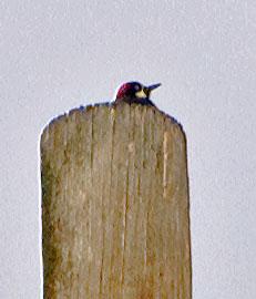 woodpecker121414